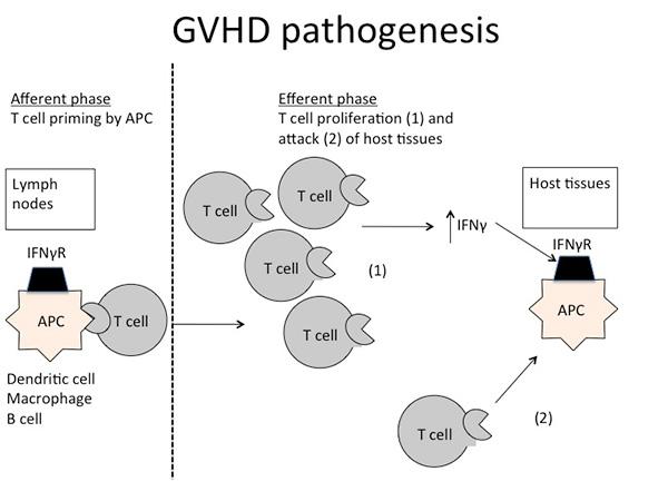 GVHD Pathogenesis
